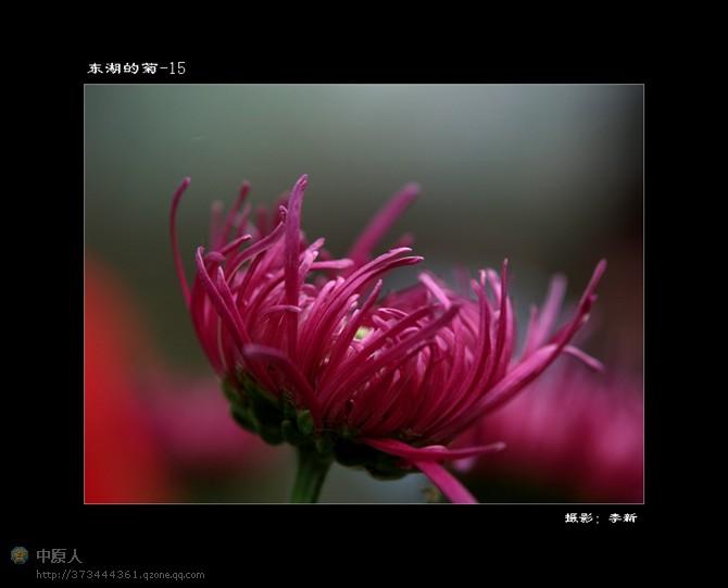 一起来赏菊吧 - 心恬梦静 - 心恬梦静的博客