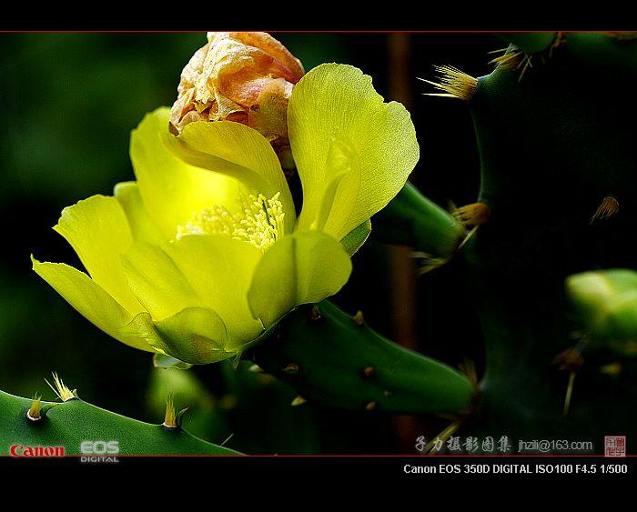 [原创] 仙人掌之花 - 子力 - 子力摄影图集
