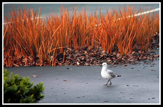 (原摄)小品  鸽 - 人走茶凉 - 人走茶凉的博客
