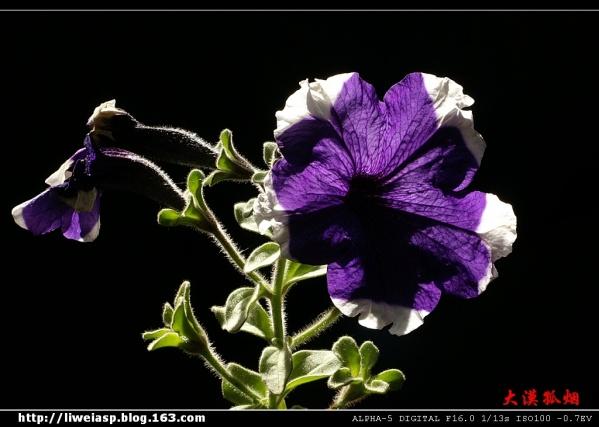 【摄影】逆光花卉 - 大漠孤烟 - 大漠孤烟的博客