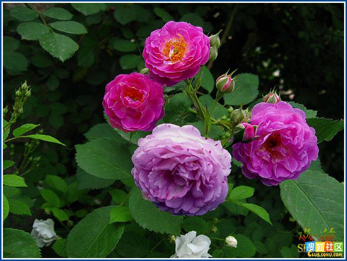 蓝蔷薇花手绘高清图片