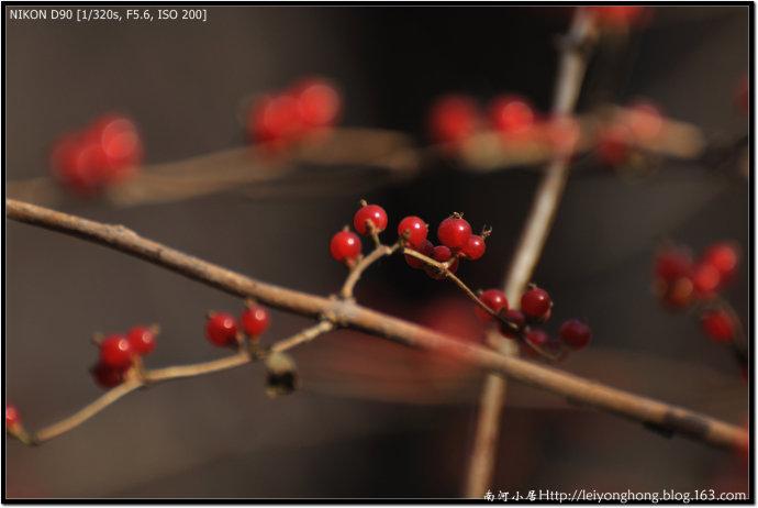 深秋的红豆 - 南河 - 南河小居