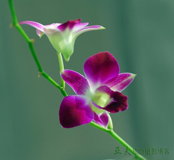 (原创)泰国蝴蝶兰之一 - 高山长风 - 亚夫旅游摄影博客