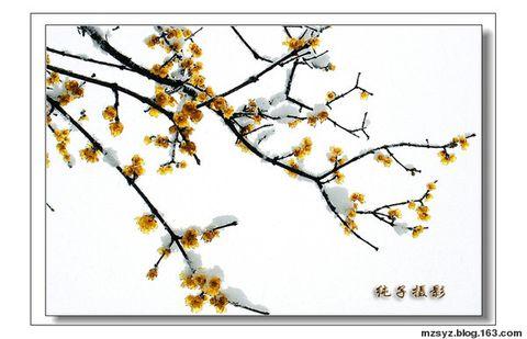 (原创)七绝·题纯子《腊梅迎春》照 - 柳下雪 - 黄水尽淘沙  太行欲入云