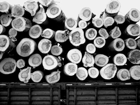 燕山毁林事件之一:白杨树的灾难 - 何三坡 - 燕山何三坡