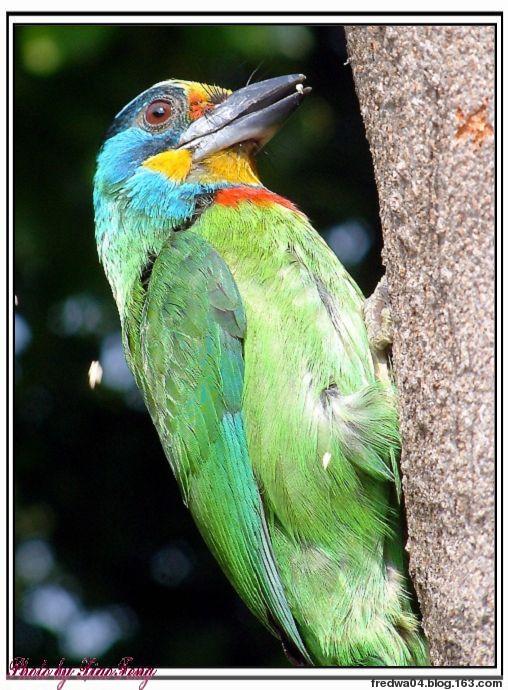 彩色世界  五色鳥 - 曉風殘月 - 曉風殘月