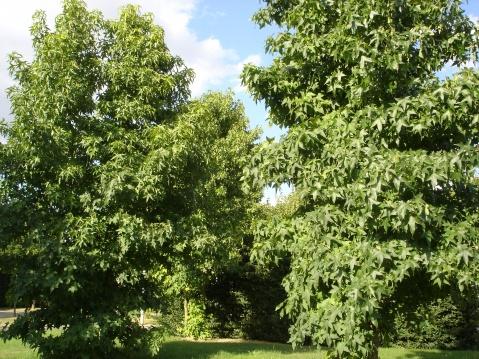 夏日里的北美枫香树 - pfspfs666.popo - 反三的博客