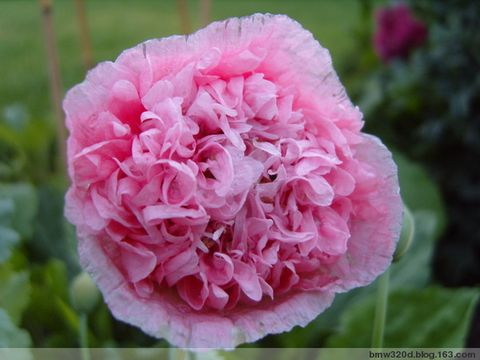 盘点2008(让花花们来叙述) - 小明 - 小明的花园