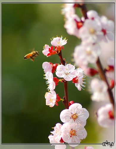 引用 三月里的梅花 (08版) - 秋叶 - 秋叶