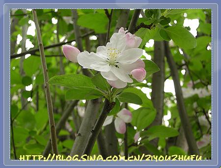 海棠花盛开的季节 - 自由主妇 - 自由主妇