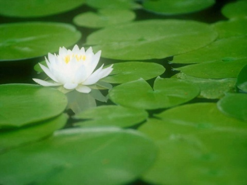 恩师说法----要活的莲花 - 静香 - 滋心家园