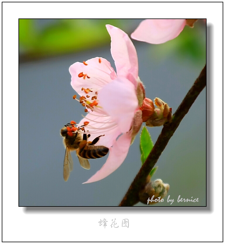 【原创摄影】蜂花之恋 - 王工 - 王工的摄影博客
