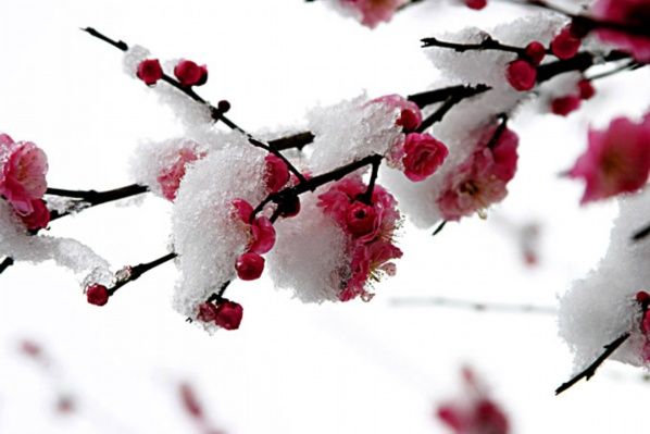 高清冰雪中的梅花图展示图片