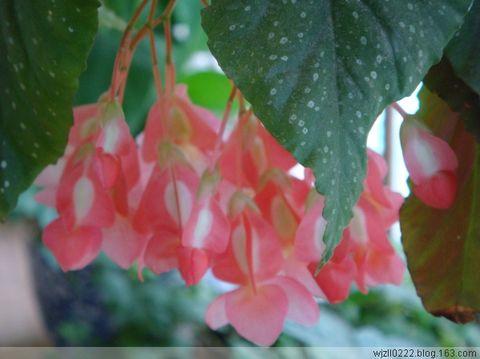 竹节海棠 - 兰森 - 兰森博客
