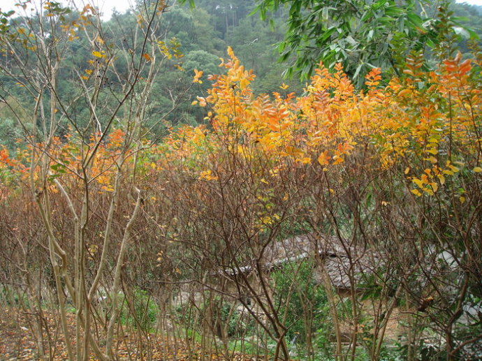 福州森林公园的红叶 - 老猫侠 - 老猫侠的博客