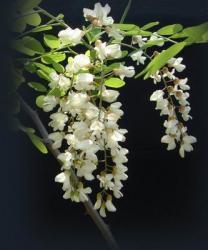 [随笔]国槐花 - tangmumao515 - tangmumao515的博客