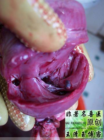 罕见的猪心内血管栓塞样物质-非著名兽医王清玉博客 - 非著名兽医王清玉 - 非著名兽医王清玉博客