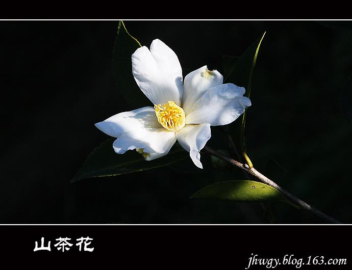 [原]山茶花 - 生有所息 - 生有所息