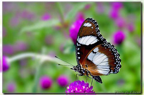 [原创]姿彩万千-蛱蝶 - Cheni - Cheni的蝴蝶馆