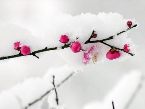 ◆雪梅 - lygqihongling - 清荷铃子