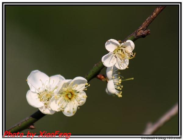 梅花三弄 - 曉風殘月 - 曉風殘月的博客