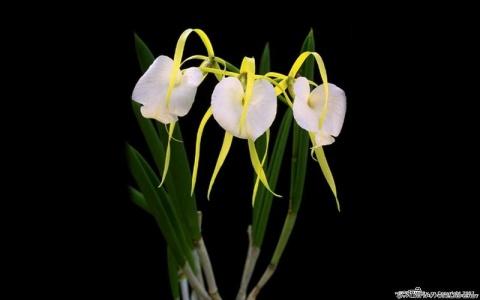 上百万元的兰花(组图) - 阳光脚步 - 阳光下的精彩