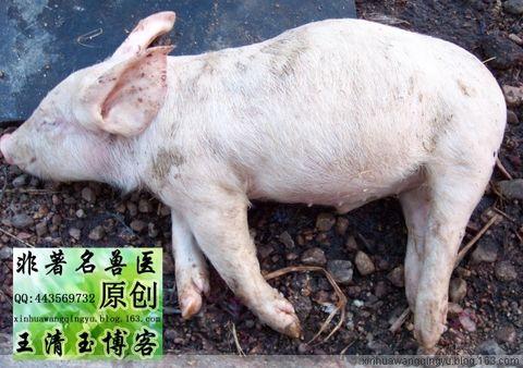 原创猪解剖图-猪腹膜炎32日龄-非著名兽医王清玉博客 - 非著名兽医王清玉 - 非著名兽医王清玉博客