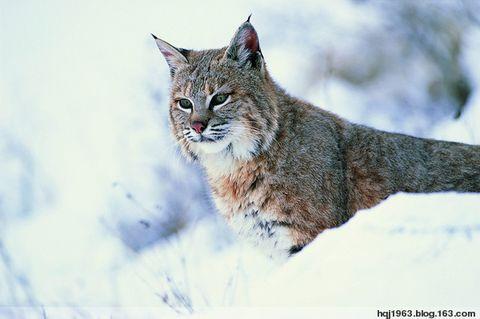 家猫看多了,看看野猫(组图) - 晋阳老头 - 晋 阳 老 头 的 一 亩 三 分 地
