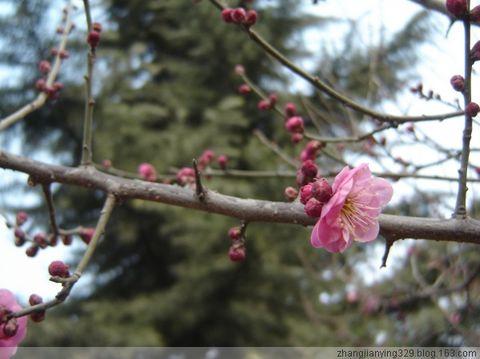 春节春花开 - 平静 - 心静如水