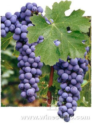 葡萄品种——赤霞珠和美乐 - 天天 - 购红酒