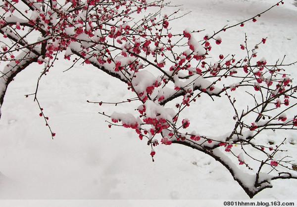 冬魂之雪梅 - 毛毛 - 毛毛的博客