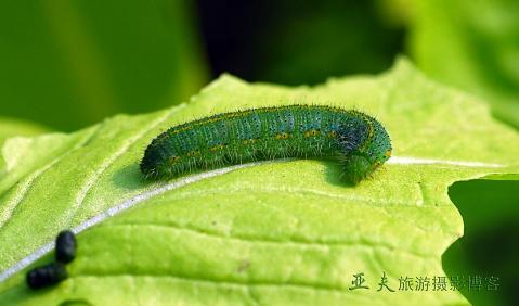 (原摄)青菜虫 - 高山长风 - 亚夫旅游摄影博客