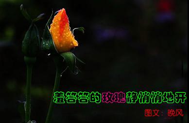 [晚风]羞答答的玫瑰静悄悄地开 - 晚风 -