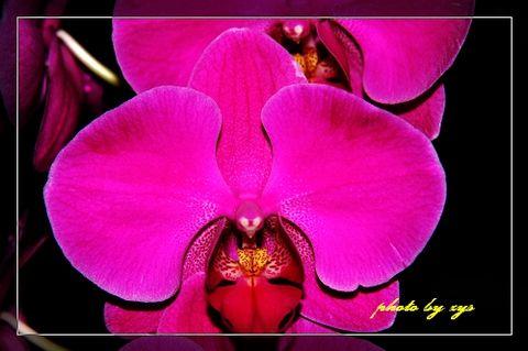 [原创]花草世界(01)蝴蝶兰《宴桃源》 - 自由诗 - 人文历史自然 诗词曲赋杂谈