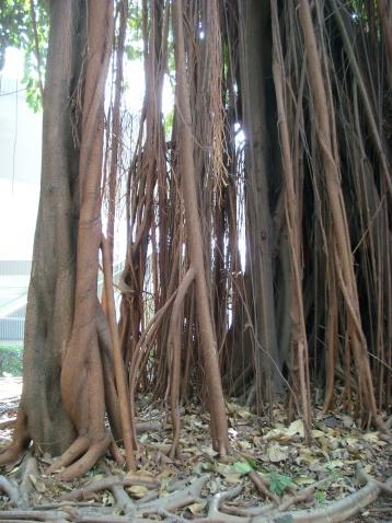 印度橡树/印度榕〔原摄〕 - 狮子山上雾茫茫 - 狮子山上雾茫茫攝影集 的博客