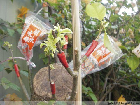 剛去套袋的接枝芽 - jp765423 - jp765423的博客