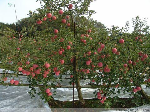 日本苹果常见树形及发展趋势  - 东东 - 东东博客