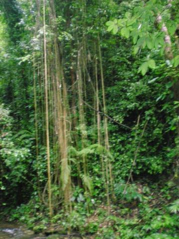 云南行之十二  亚热带雨林奇观[原] - 海的女儿 - 海的女儿--您真诚的朋友