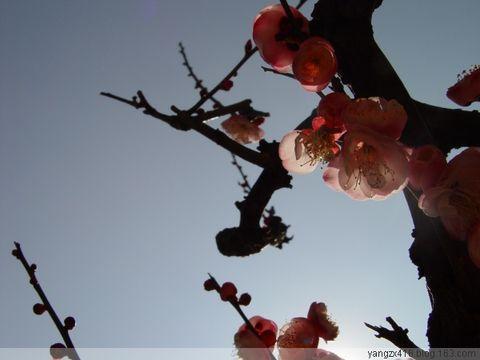 梅--我的摄影 - angel.yzx - 惠风和畅