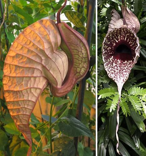 全球十五大最奇异珍稀植物【组图】 - 愚人 - 愚人:破河内 阉首尔 踏平富士山