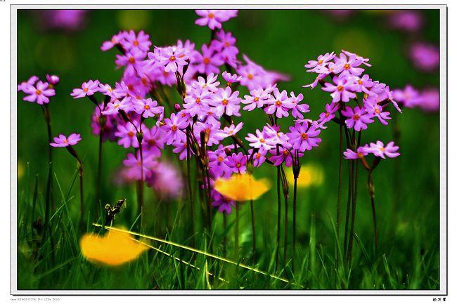 【原创摄影】草原花卉之二 - 玉树牧羊人 - 玉树牧羊人的博客