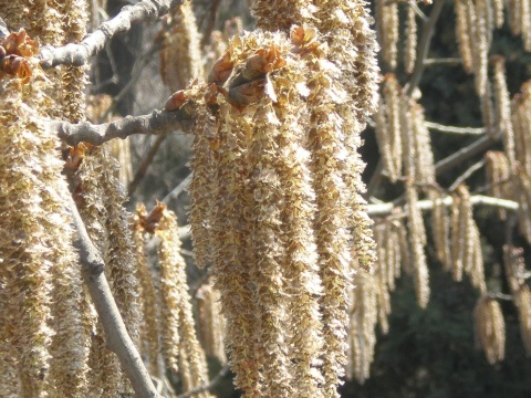 《 原 创 》杨树(花序) - 兰州园丁ljm44713 - 我的博客原创照片,欢迎指导