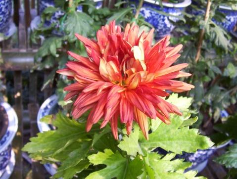 引用 赏菊 - 绿色源泉 - 绿色源于自然,自然带来悠闲