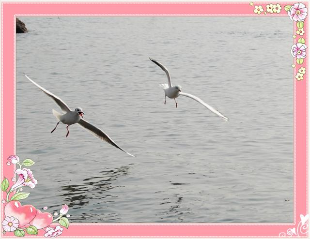 [原创]鸟打鸟海鸥系列——比翼相伴飞天涯 - 迁徙的鸟 - 迁徙鸟儿的湿地