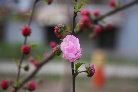 中国营口周家首届杏花节开幕 - 滴水顽石 - 滴水顽石