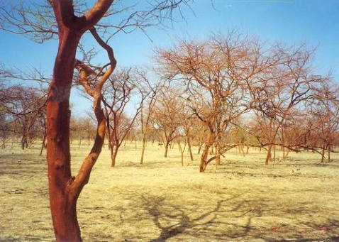 苏丹阿拉伯树胶 - 淡淡云天 - 淡淡云天