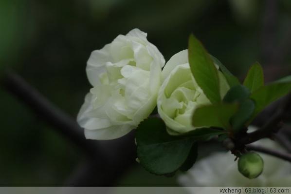 【原创】春之花:日本海棠 - 新艺城主 - 新艺城主的博客