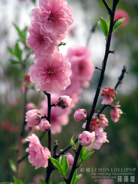 【原创】_春到桃花村 - 柠檬棒棒糖 - 柠檬棒棒糖的美丽田园