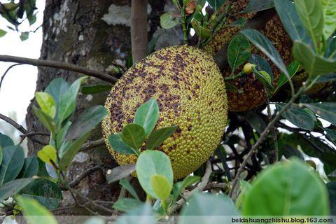 又到了菠萝蜜成熟的季节了------- - 北大荒之树 - 北大荒人