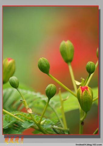 六月祝福  鳳凰花開 - 曉風殘月 - 曉風殘月